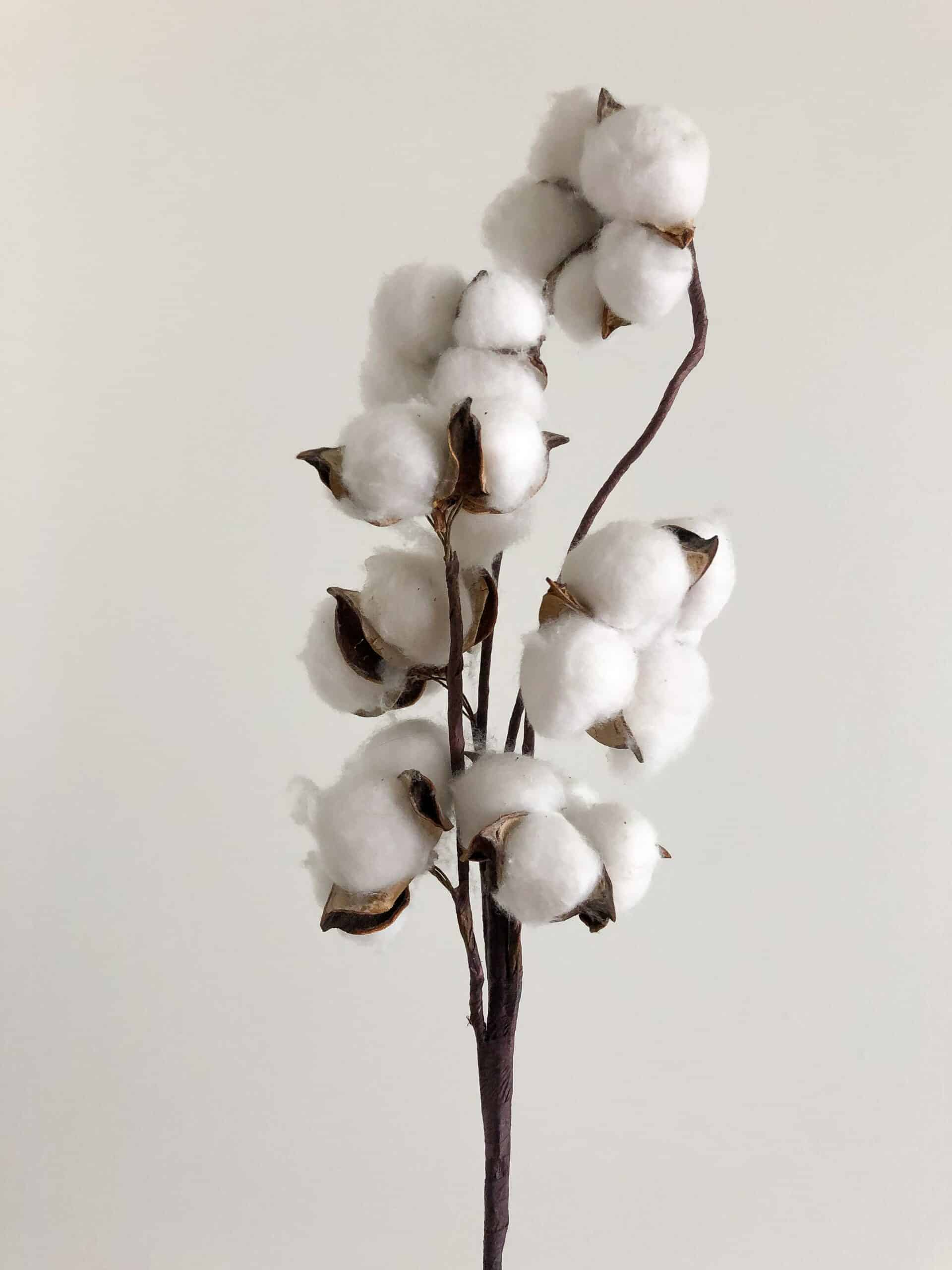 picture of cotton plant
